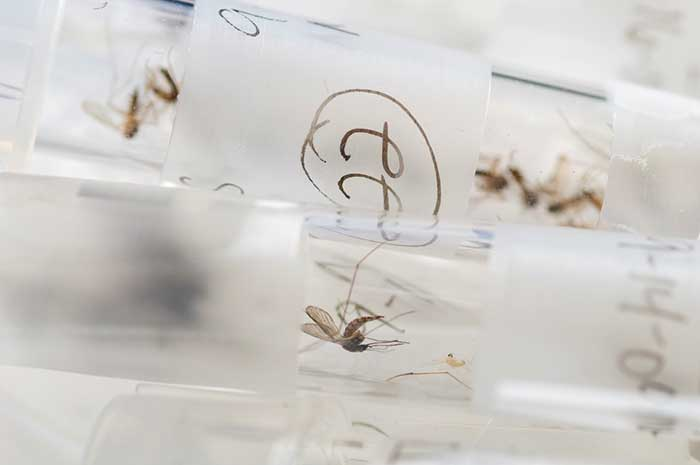 Mosquito in Test Tube